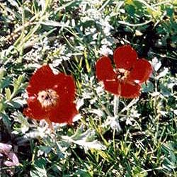 Poppy flowers that bloom only in April are gathered to bless Yezidi homes with good luck and to bless young couples with fertility.